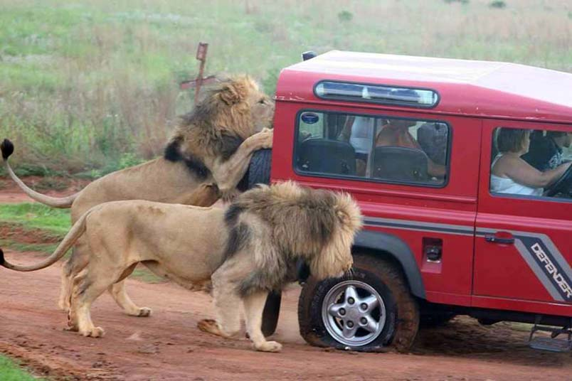 Lions_Attack_Safari